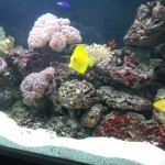 Yellow tang and various live corals in custom tank by Indoor Oceans.
