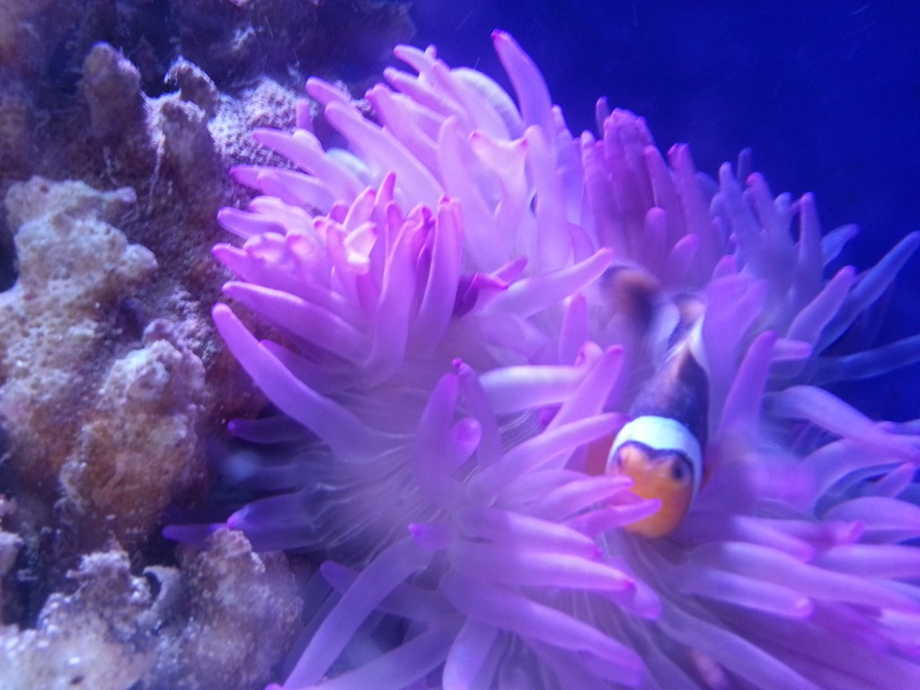Clownfish and anemone pairing in an Indoor Oceans custom tank.