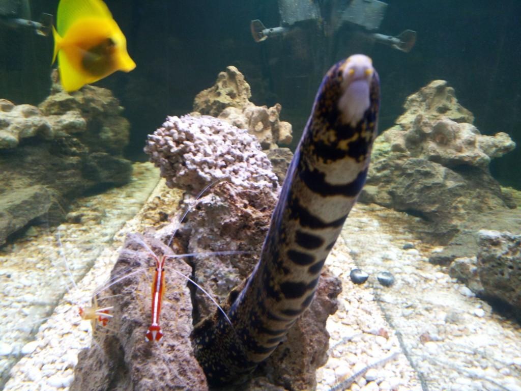 Snowflake Moray Eel in Indoor Oceans custom aquarium